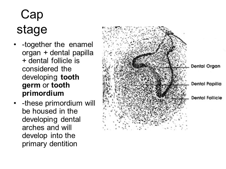 Cap stage -together the enamel organ + dental papilla + dental follicle is considered the developing tooth germ or tooth primordium.