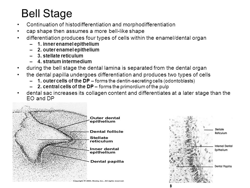 Bell Stage Continuation of histodifferentiation and morphodifferentiation. cap shape then assumes a more bell-like shape.