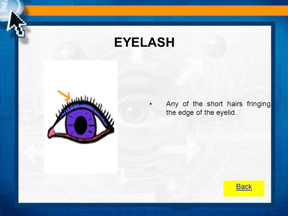EYELASH Any of the short hairs fringing the edge of the eyelid. Back