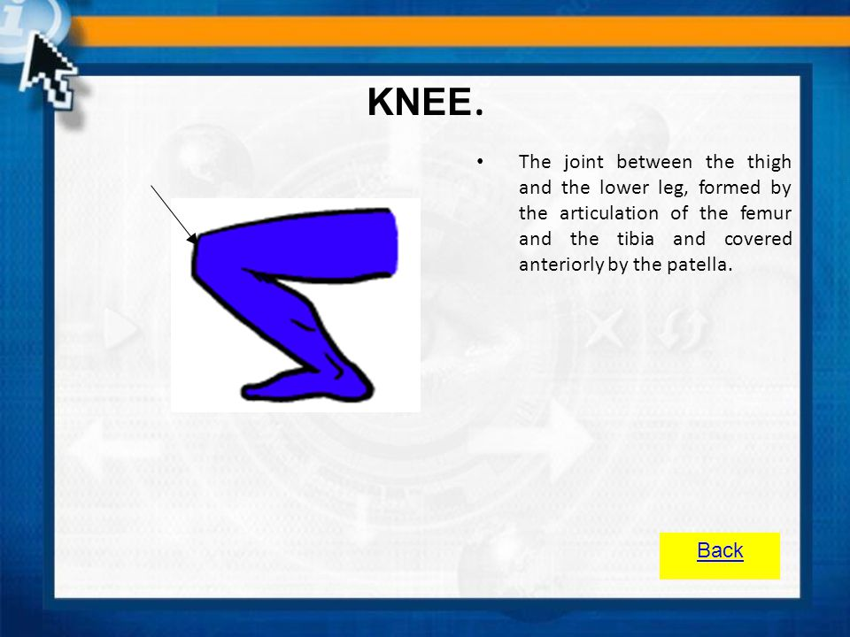 KNEE. The joint between the thigh and the lower leg, formed by the articulation of the femur and the tibia and covered anteriorly by the patella.