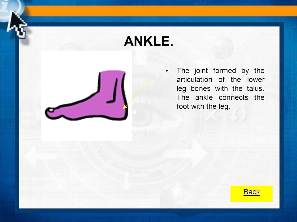 ANKLE. The joint formed by the articulation of the lower leg bones with the talus. The ankle connects the foot with the leg.
