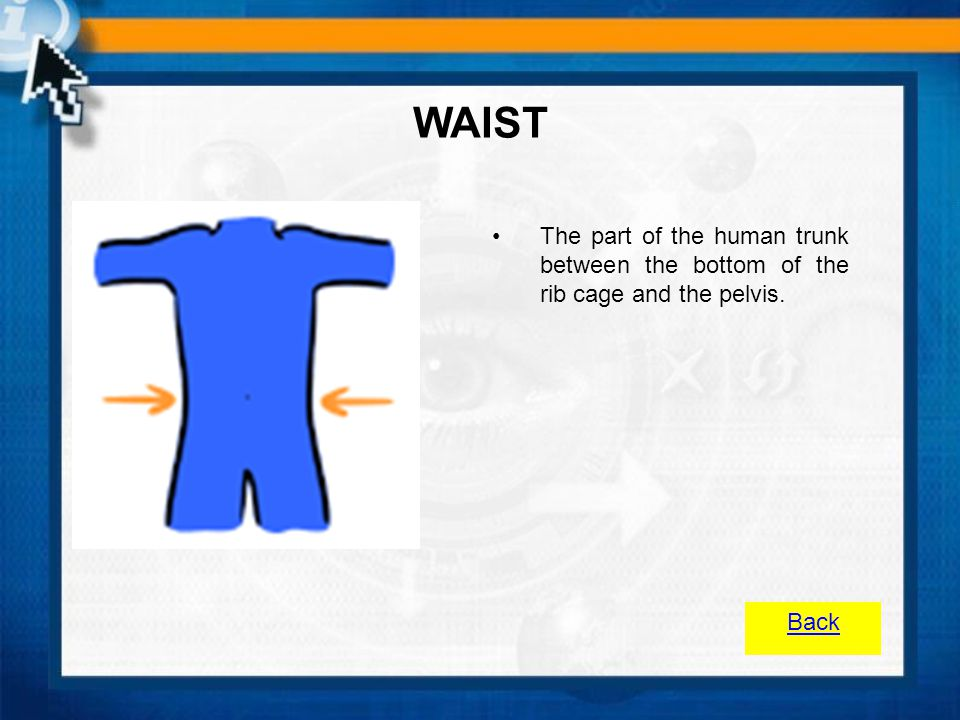 WAIST The part of the human trunk between the bottom of the rib cage and the pelvis. Back