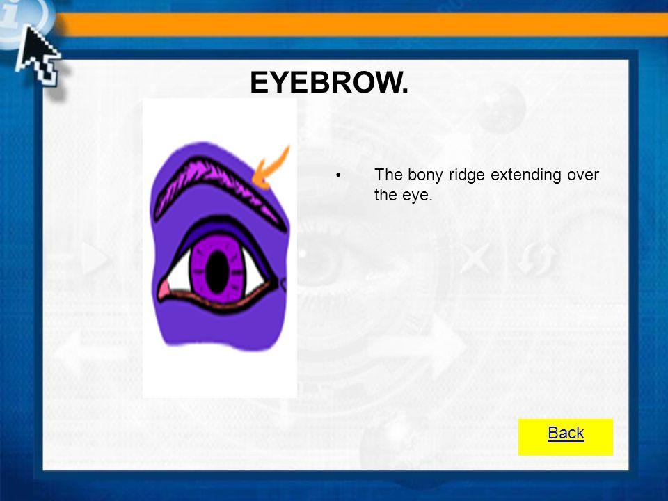 EYEBROW. The bony ridge extending over the eye. Back