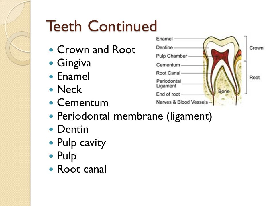 Teeth Continued Crown and Root Gingiva Enamel Neck Cementum