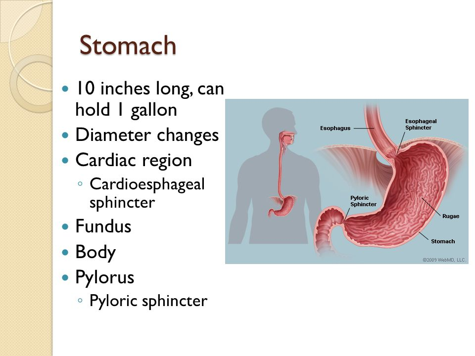 Stomach 10 inches long, can hold 1 gallon Diameter changes