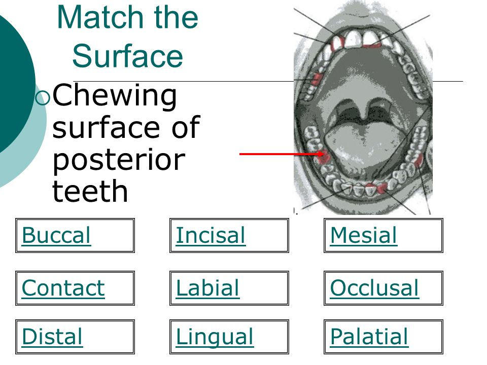 Match the Surface Chewing surface of posterior teeth Buccal Incisal