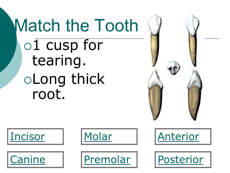 Match the Tooth 1 cusp for tearing. Long thick root. Incisor Molar