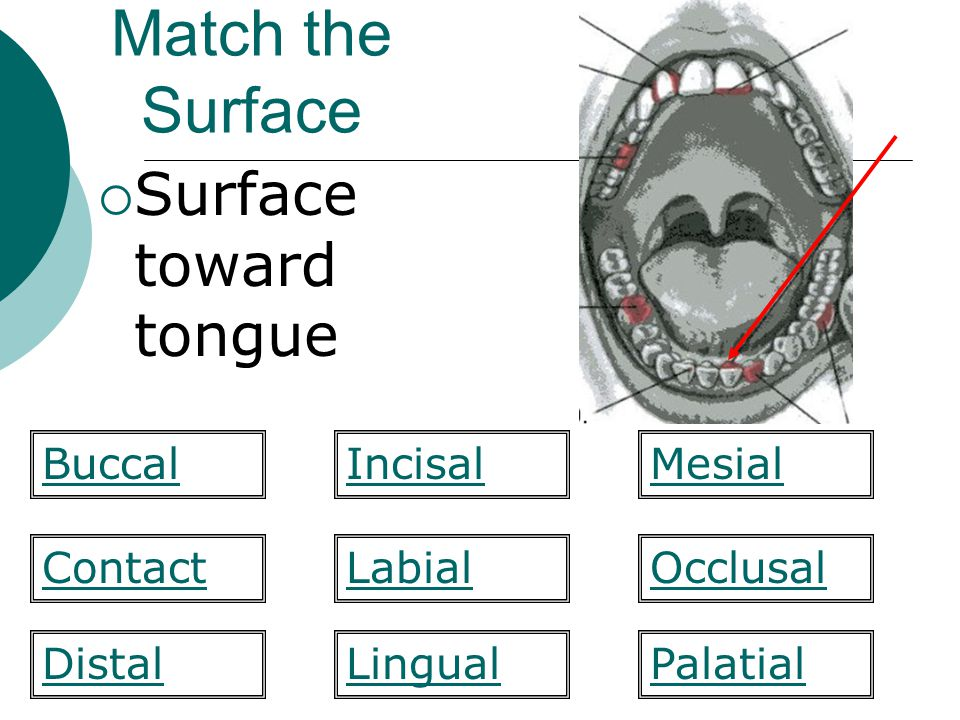 Match the Surface Surface toward tongue Buccal Incisal Mesial Contact