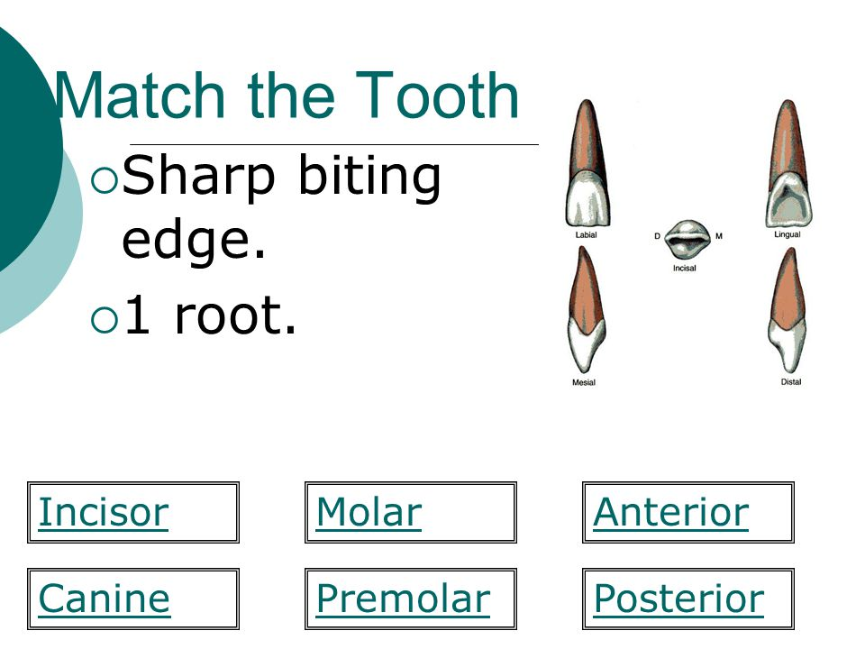 Match the Tooth Sharp biting edge. 1 root. Incisor Molar Anterior