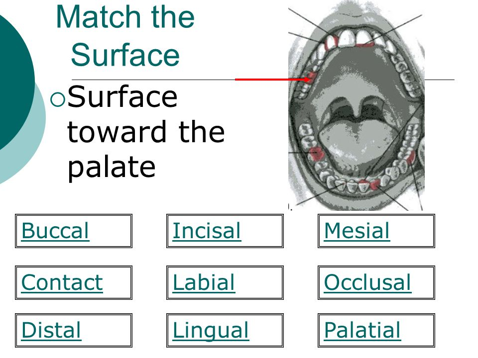 Match the Surface Surface toward the palate Buccal Incisal Mesial
