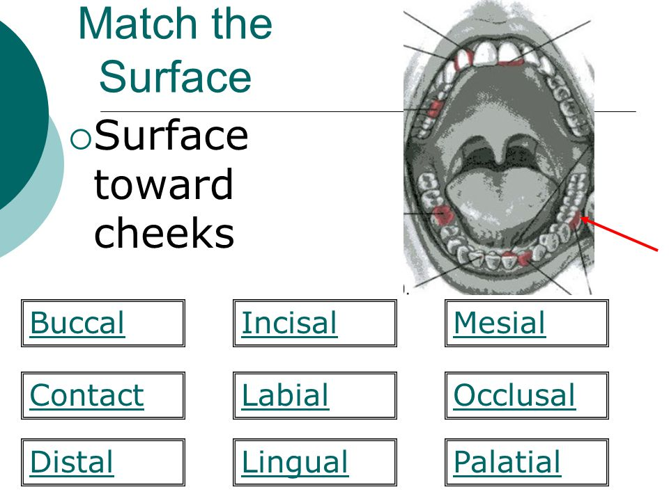 Match the Surface Surface toward cheeks Buccal Incisal Mesial Contact