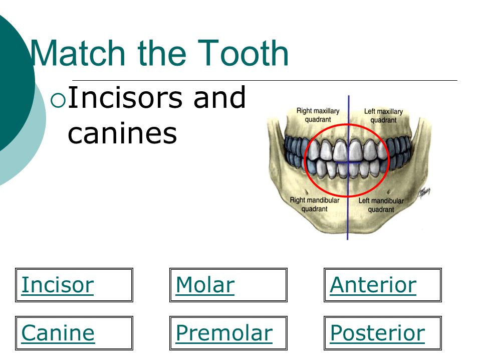 Match the Tooth Incisors and canines Incisor Molar Anterior Canine