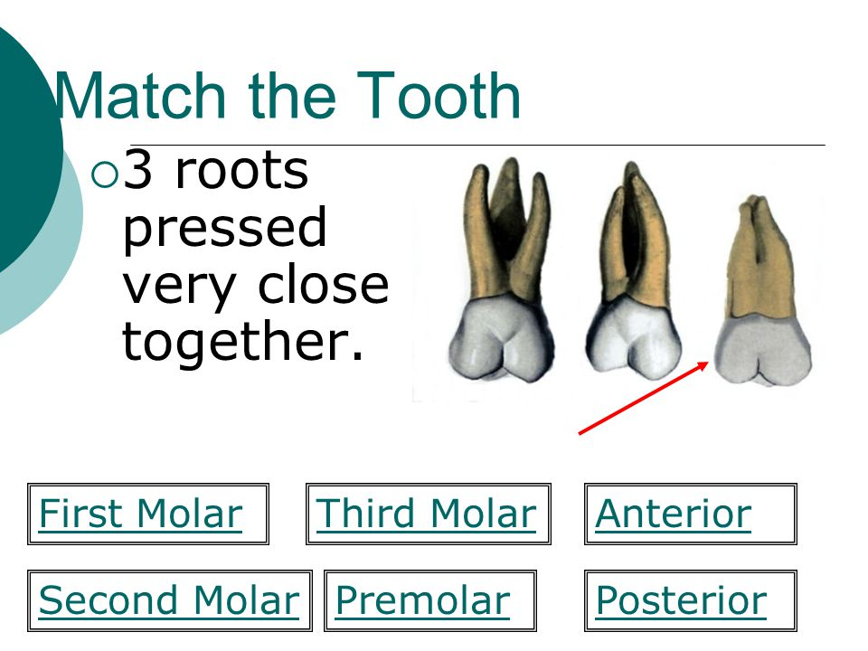 Match the Tooth 3 roots pressed very close together. First Molar