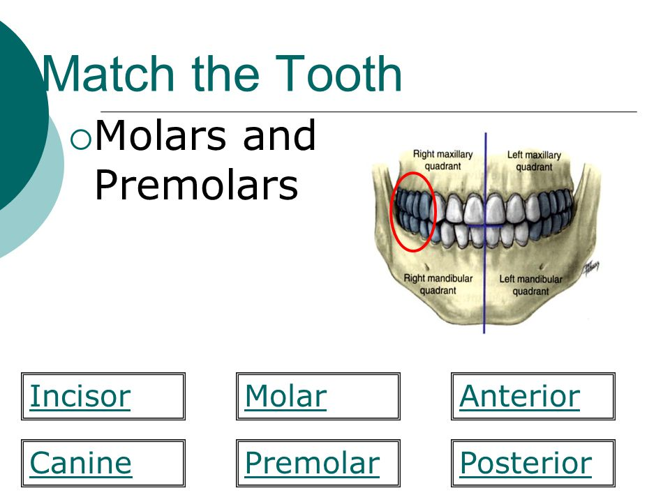 Match the Tooth Molars and Premolars Incisor Molar Anterior Canine