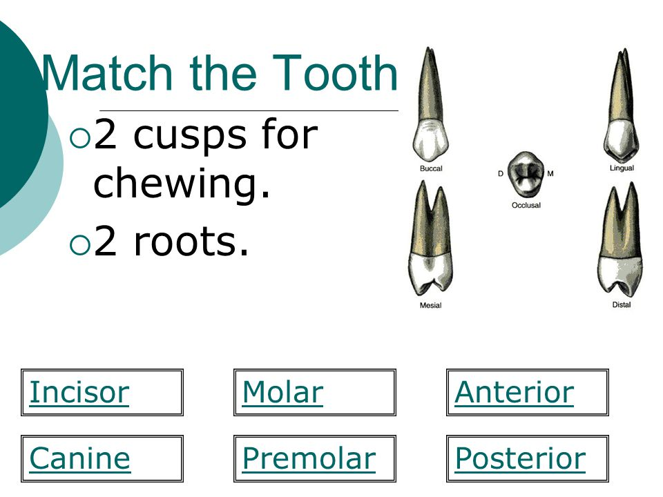 Match the Tooth 2 cusps for chewing. 2 roots. Incisor Molar Anterior