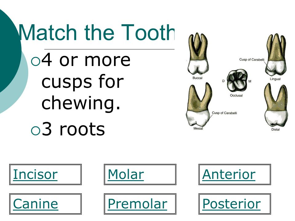 Match the Tooth 4 or more cusps for chewing. 3 roots Incisor Molar