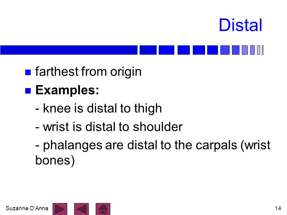 Distal farthest from origin Examples: - knee is distal to thigh