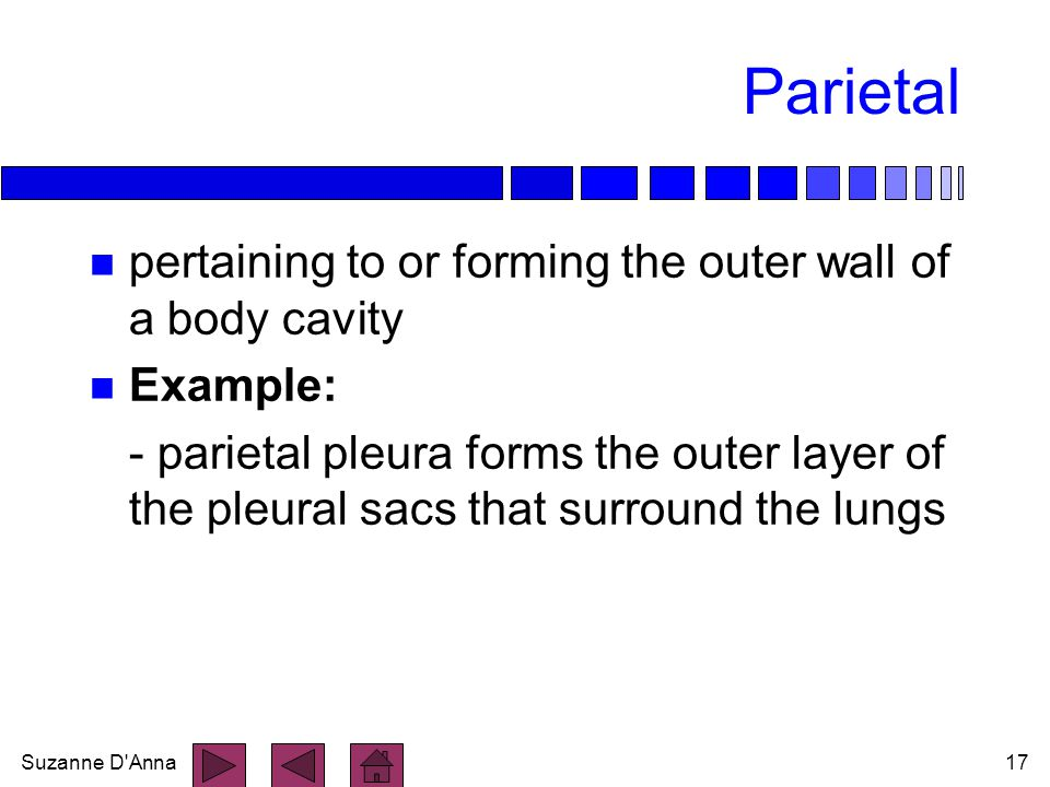 Parietal pertaining to or forming the outer wall of a body cavity