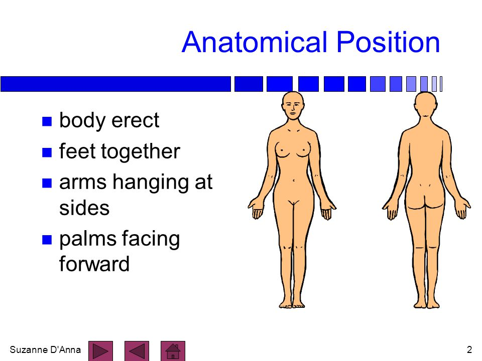Anatomical Position body erect feet together arms hanging at sides