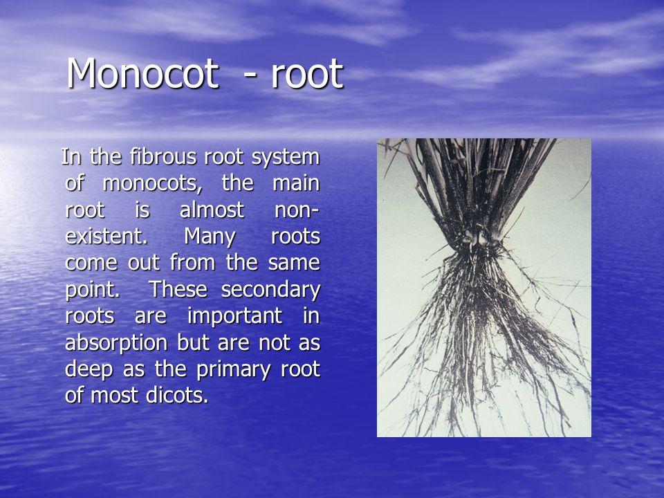 Monocot - root
