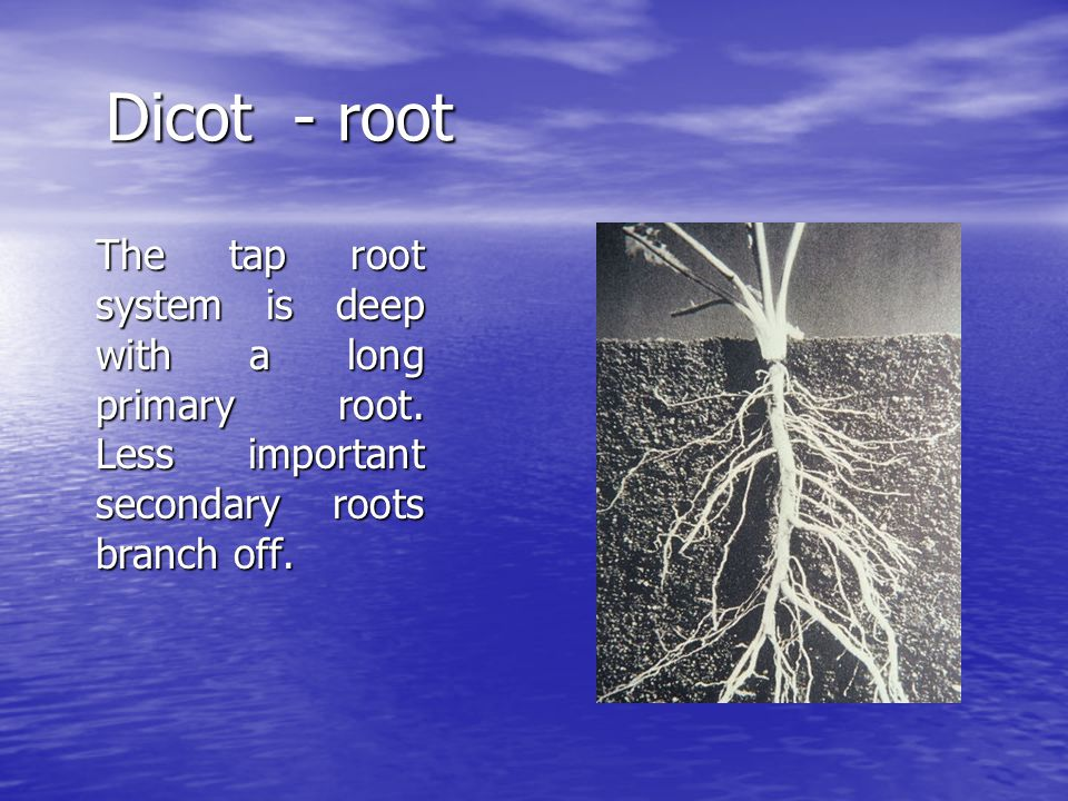 Dicot - root The tap root system is deep with a long primary root.