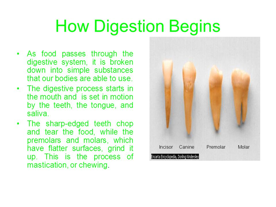 How Digestion Begins As food passes through the digestive system, it is broken down into simple substances that our bodies are able to use.