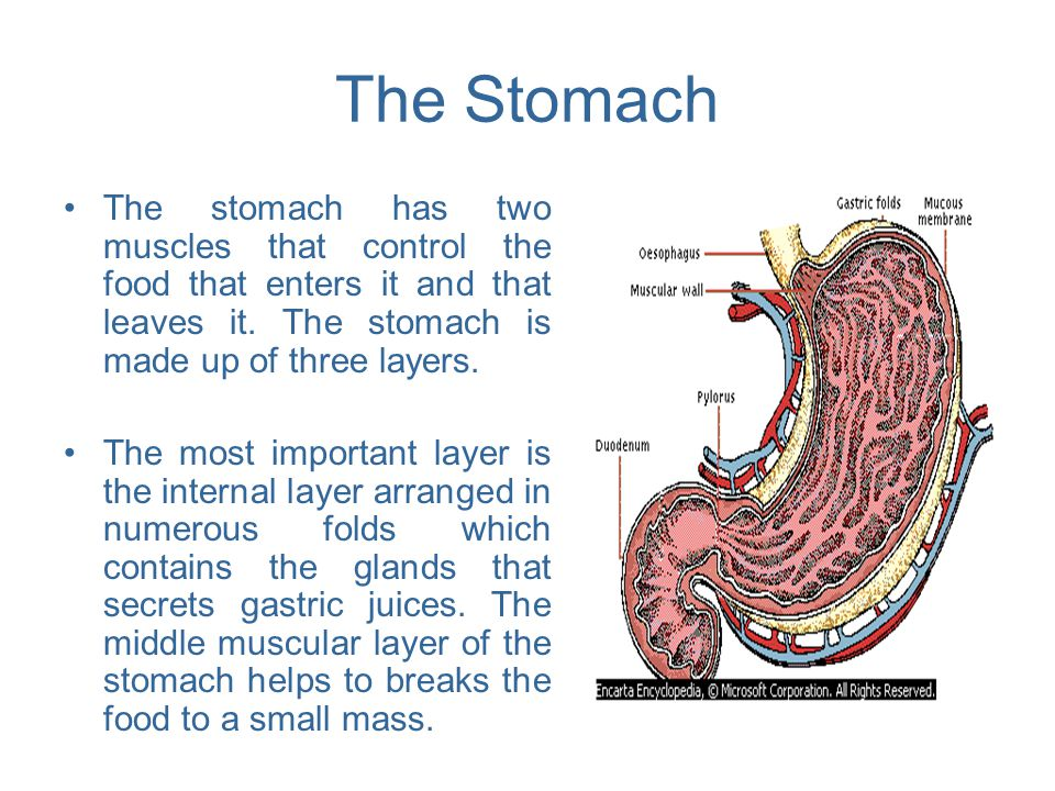 The Stomach The stomach has two muscles that control the food that enters it and that leaves it. The stomach is made up of three layers.