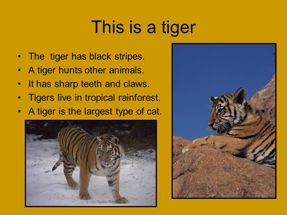 This is a tiger The tiger has black stripes.