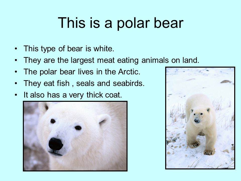 This is a polar bear This type of bear is white.