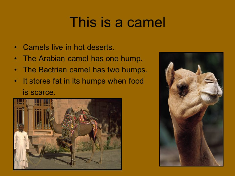 This is a camel Camels live in hot deserts.