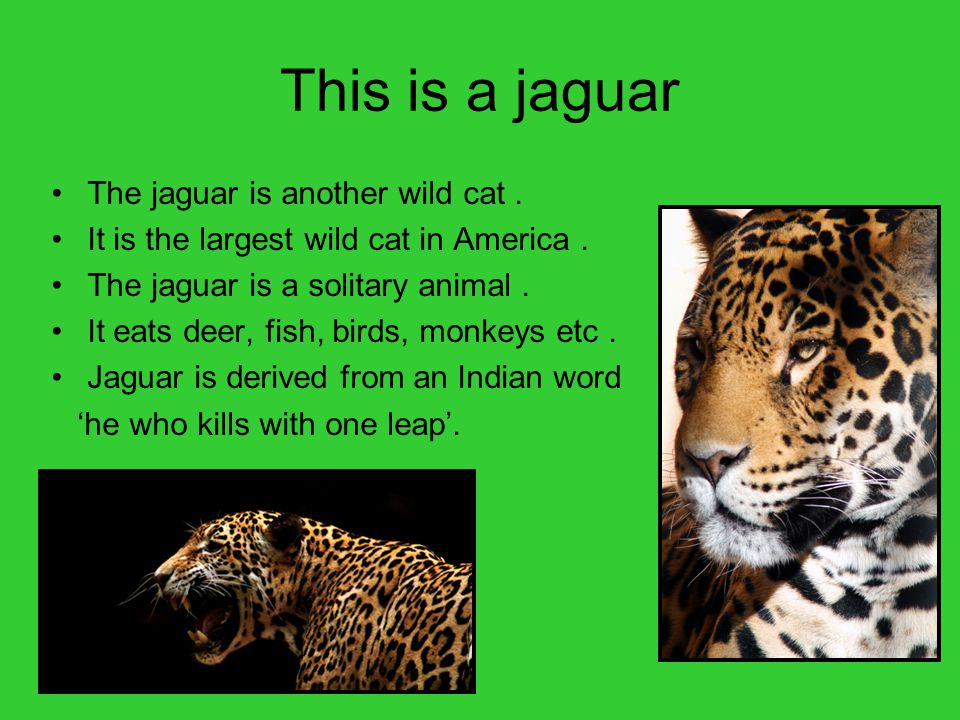 This is a jaguar The jaguar is another wild cat .