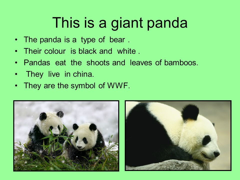 This is a giant panda The panda is a type of bear .