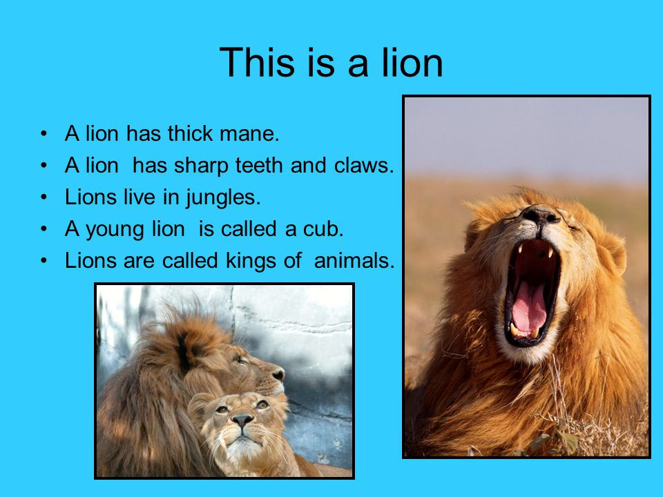 This is a lion A lion has thick mane.
