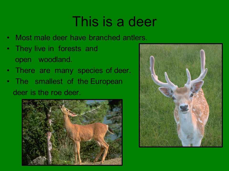 This is a deer Most male deer have branched antlers.