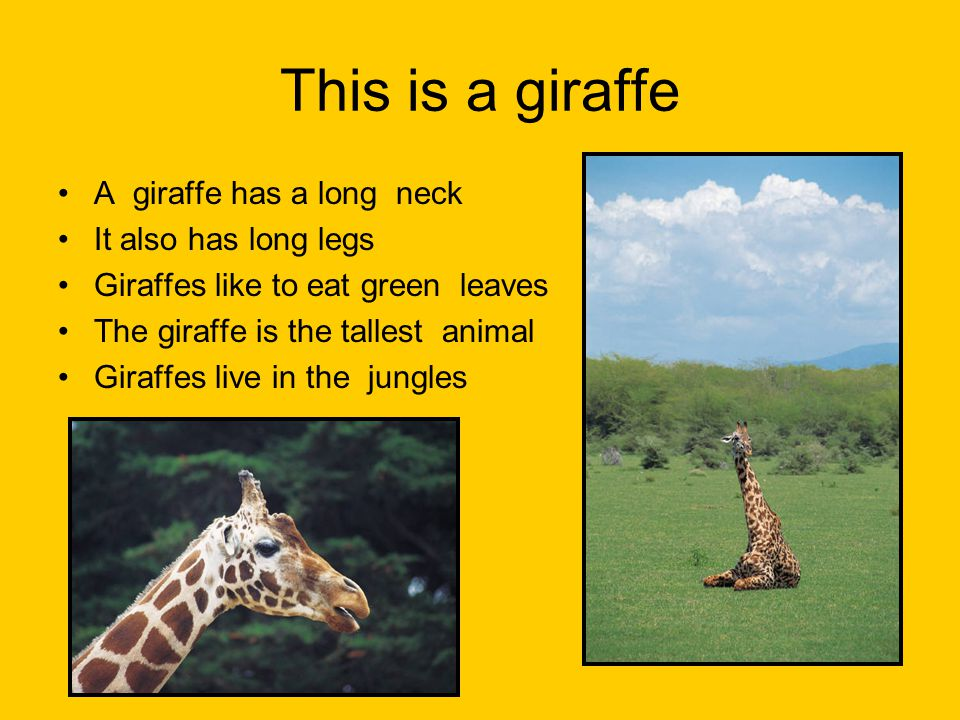 This is a giraffe A giraffe has a long neck It also has long legs