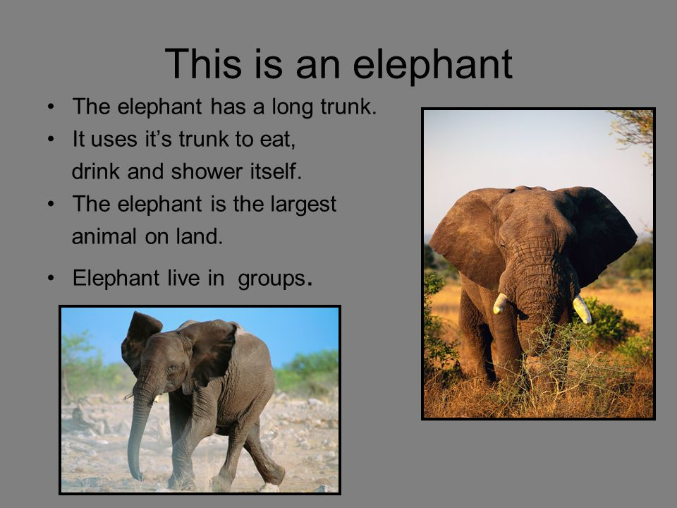 This is an elephant The elephant has a long trunk.
