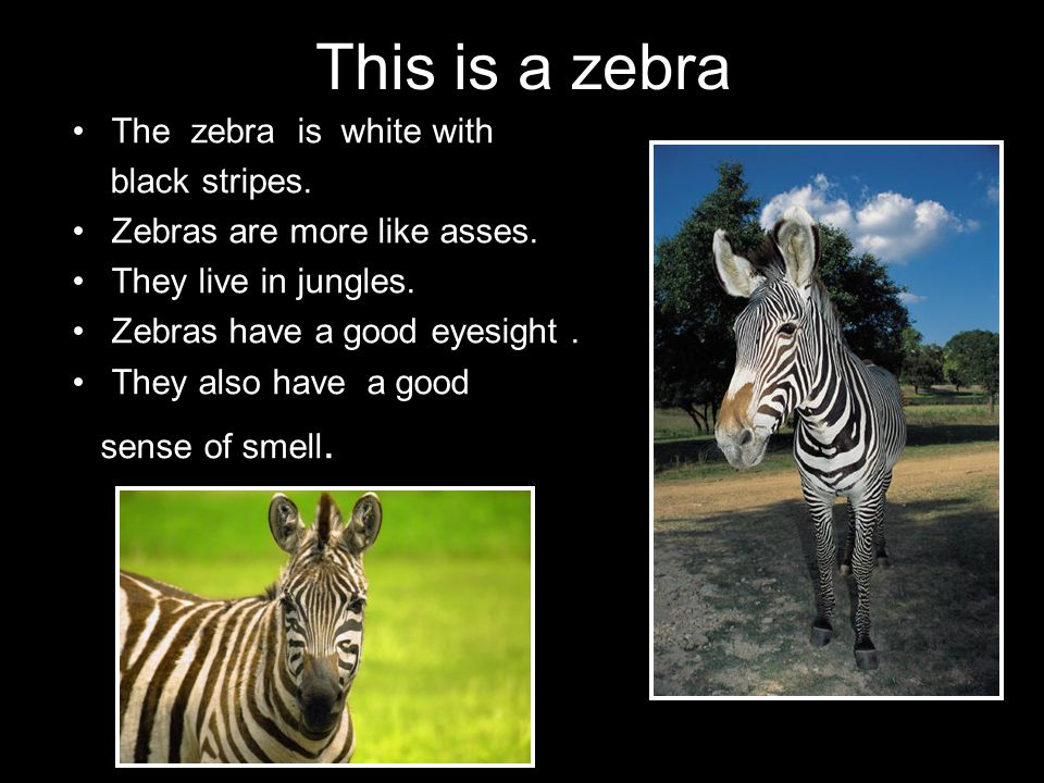 This is a zebra The zebra is white with black stripes.