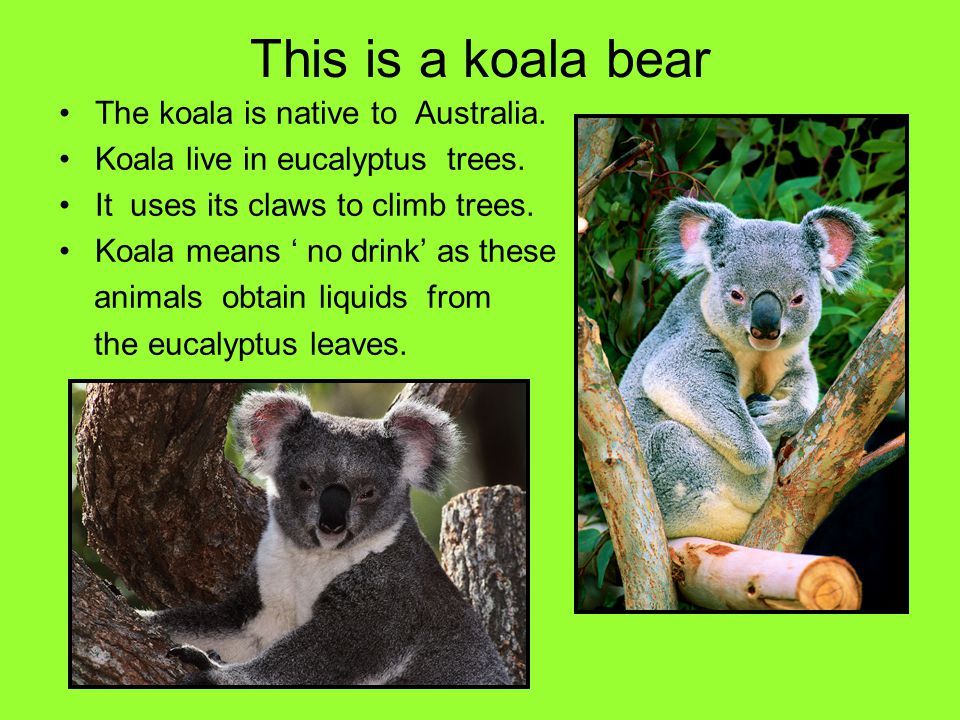 This is a koala bear The koala is native to Australia.