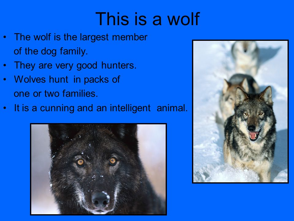 This is a wolf The wolf is the largest member of the dog family.