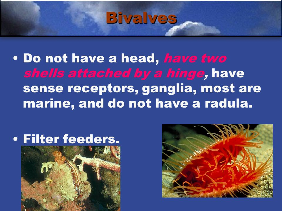 Bivalves Do not have a head, have two shells attached by a hinge, have sense receptors, ganglia, most are marine, and do not have a radula.