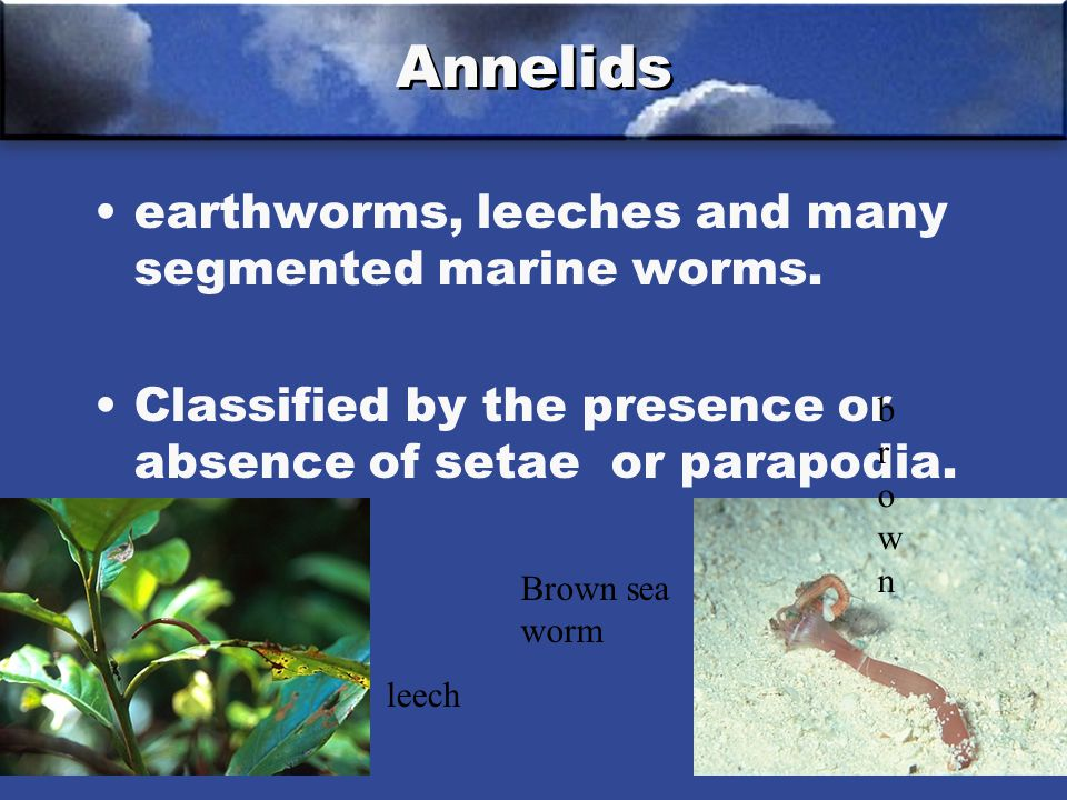 Annelids earthworms, leeches and many segmented marine worms.