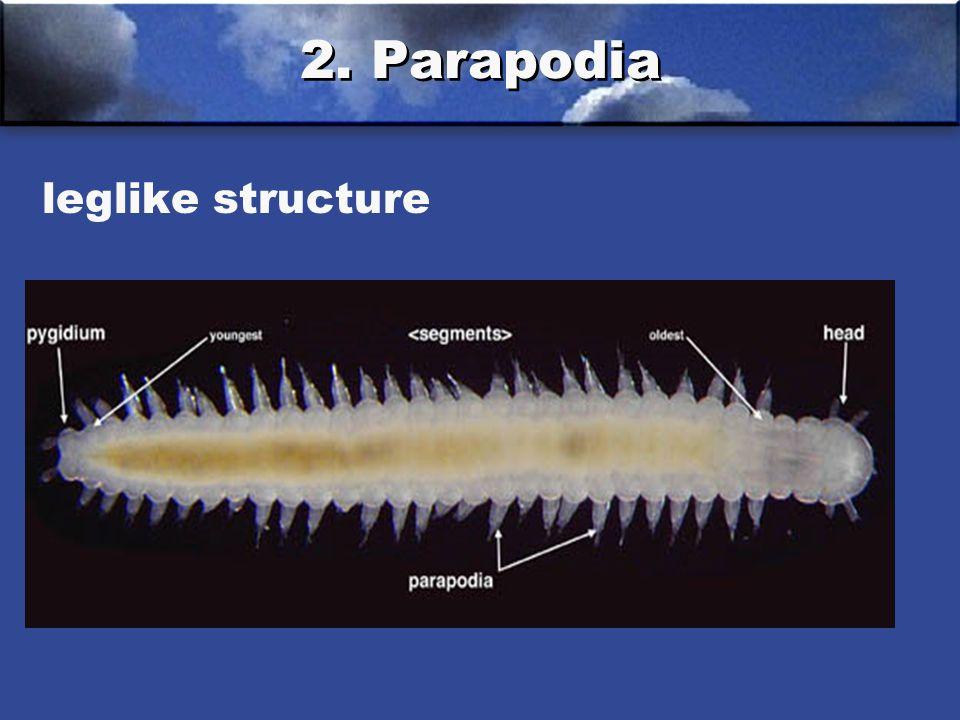 2. Parapodia leglike structure