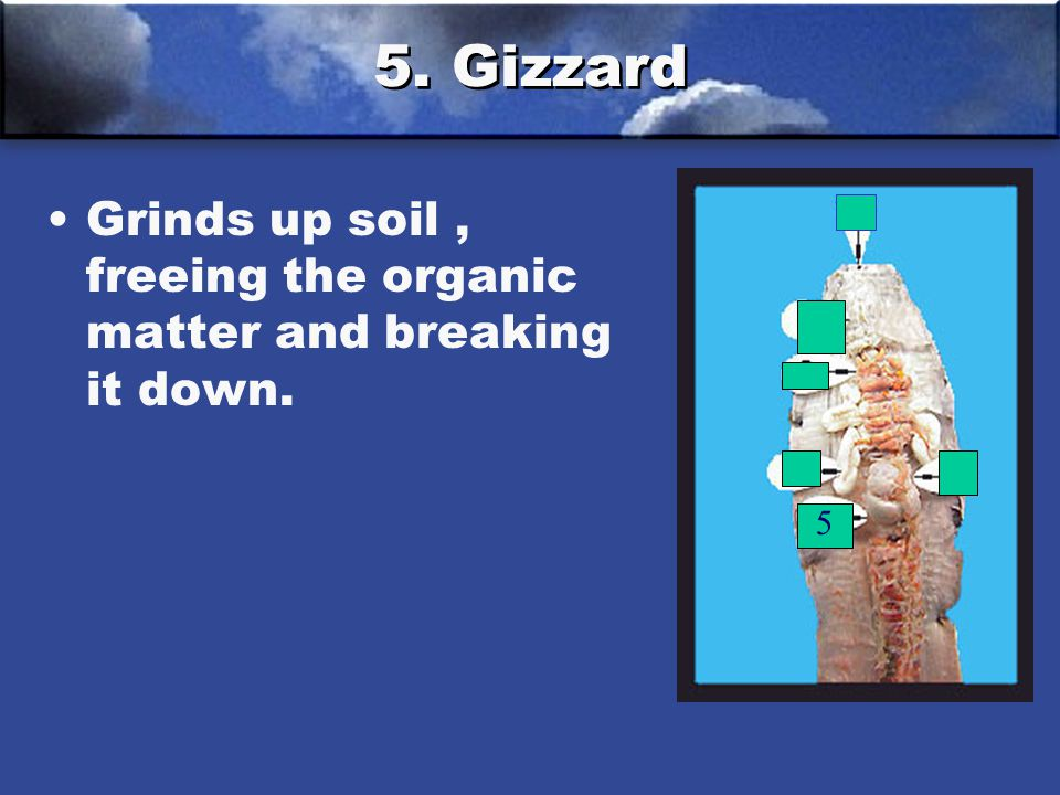 5. Gizzard Grinds up soil , freeing the organic matter and breaking it down. 5