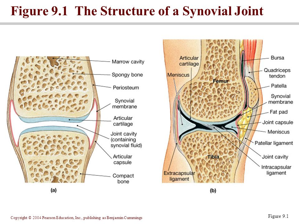 Figure 9.1 The Structure of a Synovial Joint