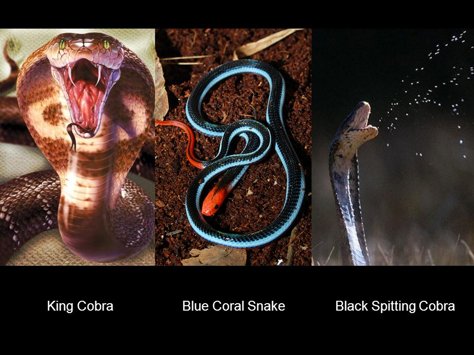 King Cobra Blue Coral Snake Black Spitting Cobra