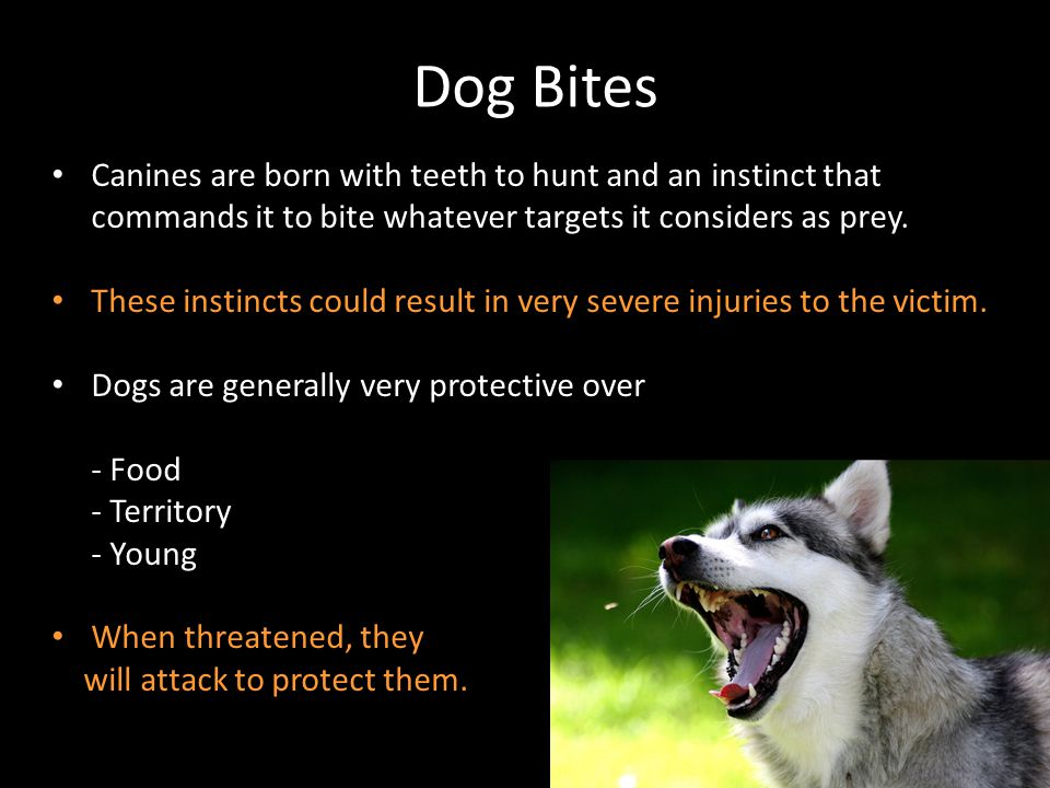 Dog Bites Canines are born with teeth to hunt and an instinct that commands it to bite whatever targets it considers as prey.