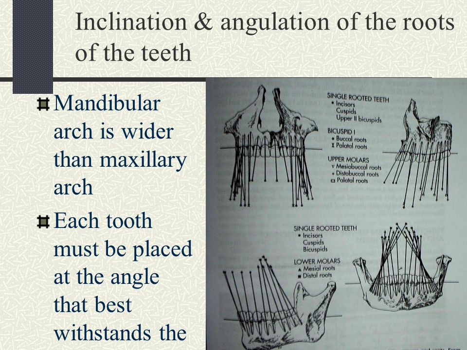 Inclination & angulation of the roots of the teeth