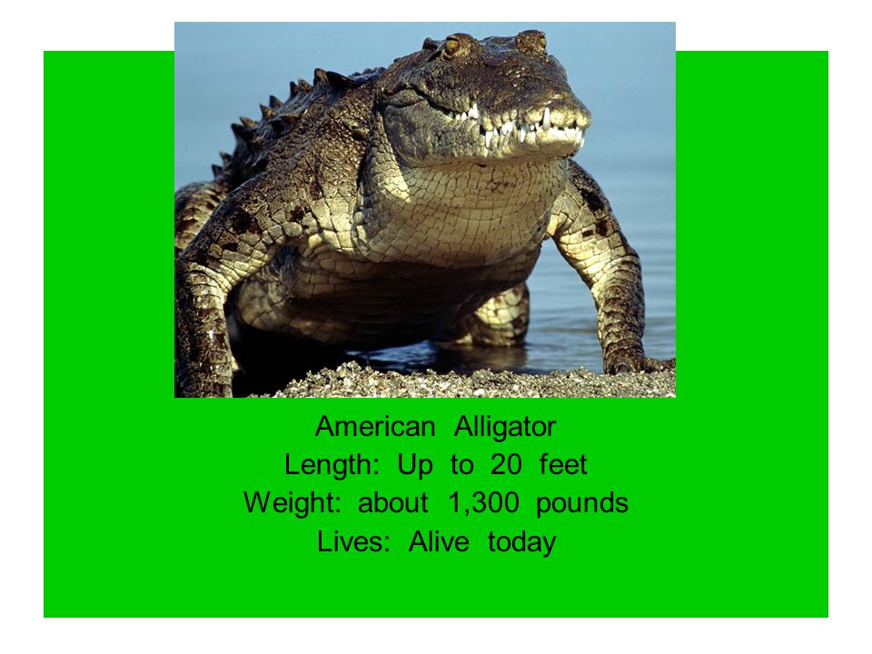 American Alligator Length: Up to 20 feet Weight: about 1,300 pounds Lives: Alive today