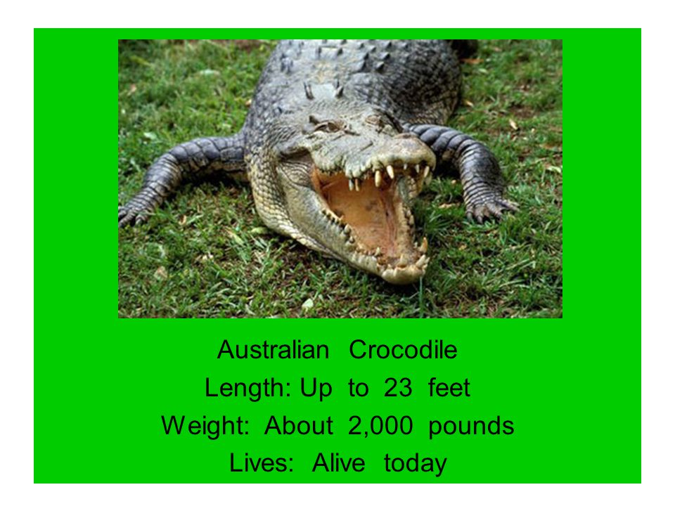 Australian Crocodile Length: Up to 23 feet Weight: About 2,000 pounds Lives: Alive today