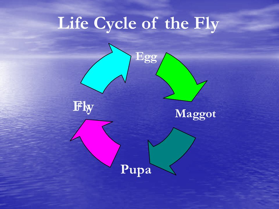 Life Cycle of the Fly Fly Pupa Egg Maggot Fly